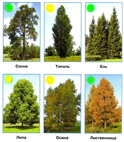 Найдите на фотографиях лиственные и хвойные деревья. Лиственные деревья обозначьте жёлтым кружком, а хвойные — зелёным