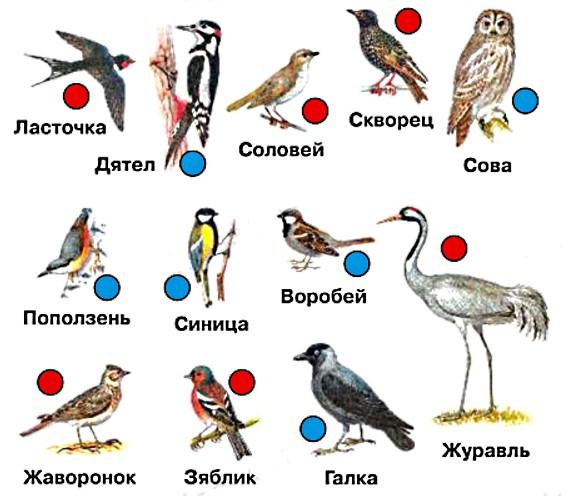 Найдите зимующих птиц. Отметьте синими фишками. Остальные птицы – перелётные. Отметьте их красными фишками. Проверьте себя на с. 84-85.